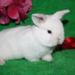 Карликовые вислоухие крольчата, Новосибирск