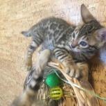 Бенгальская кошка, Новосибирск