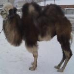 Продам верблюда., Новосибирск