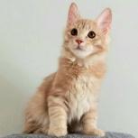 Котята породы Курильский бобтейлн, Новосибирск