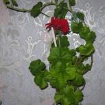 Пеларгония плющелистная ., Новосибирск