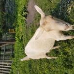 Коза дойная, Новосибирск