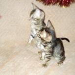 Две звезды(с документами без ограничений) котята, Новосибирск