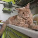 Кот мейн-кун вязка, Новосибирск