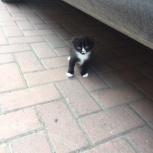 Продам вислоухих котят, Новосибирск