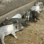 Продам свиней пароды кармалы, Новосибирск