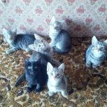 Котики-полосатики 2 месяца, Новосибирск