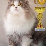 Шотландский  кот скотиш-страйт хайленд, чемпион готов к вязке, Новосибирск