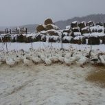 Мясо домашних гусей, Новосибирск