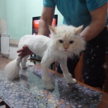 стрижка кошек и собак.выезд на дом, Новосибирск