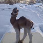 Верблюжонок Нар, Новосибирск