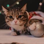 Кошка енот ищет друга, Новосибирск