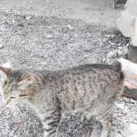 кошка курильский бобтейл, Новосибирск