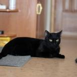 Добрый черный кот Морис. Кастрирован, Новосибирск