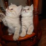 Британские котята шоу-класса, 2 месяца, кот и кошка, Новосибирск