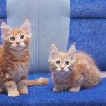Мейн-кун котята от титулованных родителей, Новосибирск