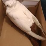Найден белый голубь, Новосибирск