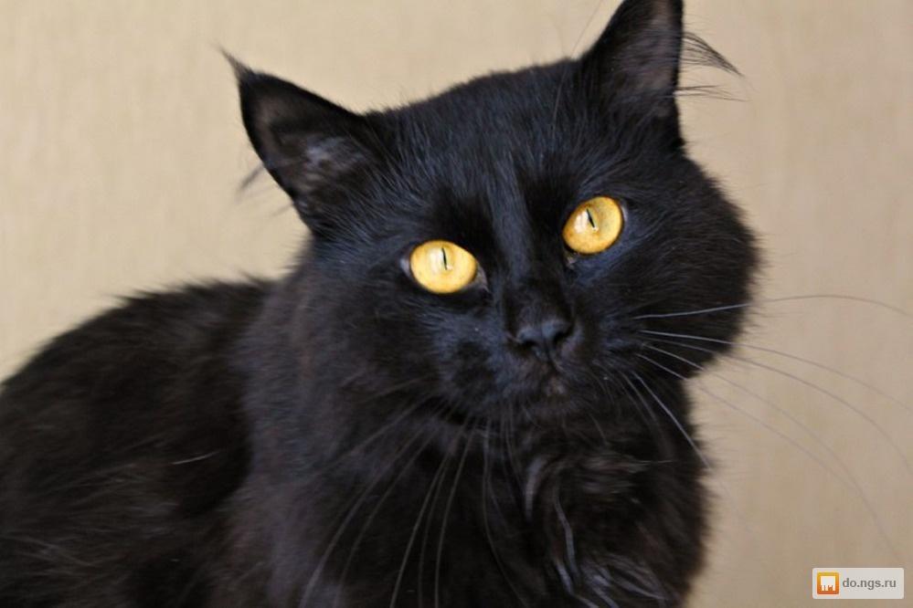 Порода кот баюн