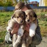 Щенки колли два соболиных парня, Новосибирск