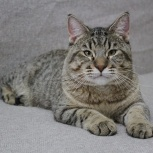 Пиксибоб котята, Новосибирск
