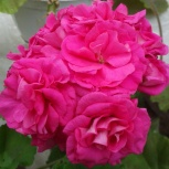 Комнатные цветы пеларгония розебудная, Новосибирск