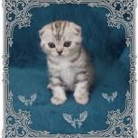 шотланские вислоухие котята, Новосибирск