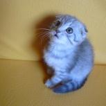 Вислоухий котёнок мальчик, Новосибирск