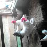 Продам кур,петухов, Новосибирск