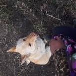 Найден Пес. Похож на лису, Новосибирск