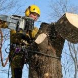 Спил, санитарная и омолаживающая обрезка деревьев, Новосибирск