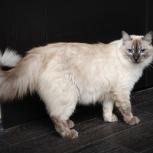 Синеглазый красавец котик Лаврик, Новосибирск
