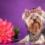 Красивая девочка, щенок от интерчемпиона, Новосибирск