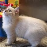 Котёнок Невский Маскарадный, Новосибирск
