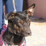 Молодая собака Лиза, стерилизованная, Новосибирск