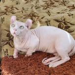 Кот голый двельф кастрат, Новосибирск