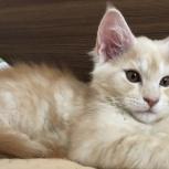 Кошечка Мейн Кун, Новосибирск