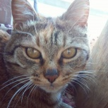 Найдена кошка - возможно бобтейл, Новосибирск