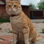 Потерялся молодой кот. Кончик хвостика кривой, Новосибирск
