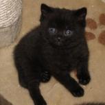 Продам британских котят, Новосибирск