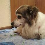 Найдена собачка Тяпа, Новосибирск