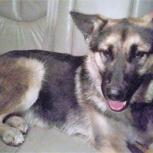 28.12.17 найдена собака типа Овчарки, Новосибирск