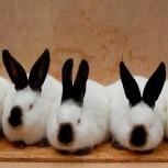 Кролики калифорнийской породы, Новосибирск