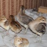 Цыплята билефельдер, Новосибирск