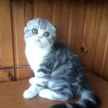 Шотландский Вислоухий котенок - мальчик, Новосибирск