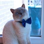Британский кот приглашает к знакомству, Новосибирск