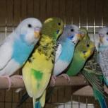 Молодые волнистые попугаи домашнего разведения, Новосибирск