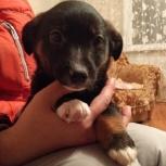 щенок девочка 1,5 месяца,некрупная, Новосибирск