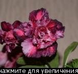 Продам черенок адениума, Новосибирск