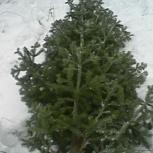 продам новогоднюю пихту, Новосибирск