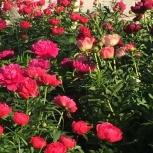 Цветы, Новосибирск